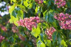 Κόκκινο δέντρο κάστανων λουλουδιών Στοκ Εικόνες