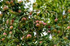 κόκκινο δέντρο μήλων μήλων Στοκ εικόνες με δικαίωμα ελεύθερης χρήσης