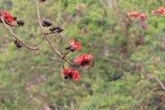 κόκκινο δέντρο μεταξιού β&alp Στοκ Εικόνες