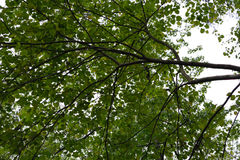 Κόκκινο δέντρο οφθαλμών Στοκ φωτογραφία με δικαίωμα ελεύθερης χρήσης