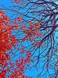 κόκκινο δέντρο σκοπέλων Στοκ Εικόνες