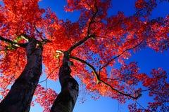 Κόκκινο δέντρο σφενδάμνου σκιαγραφιών στο μπλε ουρανό Στοκ Εικόνες