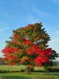 Κόκκινο δέντρο σφενδάμνου φθινοπώρου στη χώρα με την πράσινους χλόη και το μπλε ουρανό Στοκ Εικόνες