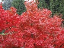 Κόκκινο δέντρο σφενδάμνου Στοκ εικόνα με δικαίωμα ελεύθερης χρήσης