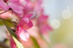 Κόκκινο δέντρο της Apple λουλουδιών στο άνθος Στοκ Εικόνες