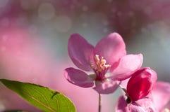 Κόκκινο δέντρο της Apple λουλουδιών στο άνθος Στοκ εικόνες με δικαίωμα ελεύθερης χρήσης