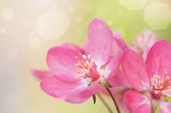 Κόκκινο δέντρο της Apple λουλουδιών στο άνθος Στοκ φωτογραφία με δικαίωμα ελεύθερης χρήσης