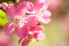 Κόκκινο δέντρο της Apple λουλουδιών στο άνθος Στοκ εικόνα με δικαίωμα ελεύθερης χρήσης