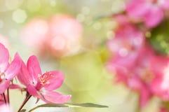Κόκκινο δέντρο της Apple λουλουδιών στο άνθος Στοκ Φωτογραφίες