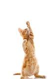 Κόκκινο λίγη γάτα Στοκ φωτογραφία με δικαίωμα ελεύθερης χρήσης