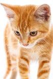 Κόκκινο λίγη γάτα Στοκ Φωτογραφίες