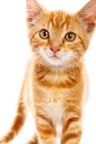 Κόκκινο λίγη γάτα Στοκ Εικόνες