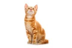 Κόκκινο λίγη γάτα Στοκ Εικόνα