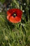 Κόκκινο αγγλικό λουλούδι παπαρουνών στην ηλιοφάνεια Στοκ Φωτογραφίες