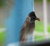 Κόκκινο αερισμένο Bulbul που κυνηγά και που τρώει το έντομο Στοκ Εικόνες