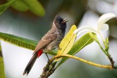 Κόκκινο αερισμένο Bulbul, Pycnonotus cafer, Ινδία Στοκ φωτογραφία με δικαίωμα ελεύθερης χρήσης
