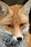 κόκκινο αλεπούδων κινηματογραφήσεων σε πρώτο πλάνο Στοκ Εικόνα