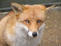 κόκκινο αλεπούδων προσώπ& Στοκ Εικόνες
