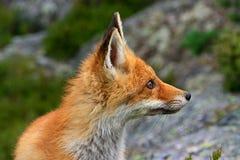 κόκκινο αλεπούδων Στοκ φωτογραφία με δικαίωμα ελεύθερης χρήσης