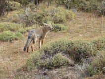 κόκκινο αλεπούδων Στοκ εικόνα με δικαίωμα ελεύθερης χρήσης