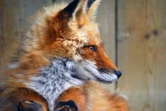 κόκκινο αλεπούδων Στοκ Εικόνες