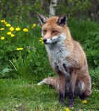 κόκκινο αλεπούδων στοκ φωτογραφίες