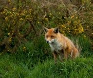 κόκκινο αλεπούδων Στοκ Εικόνα