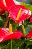 Κόκκινο ανθίζοντας anthurium φυτό στην άνθιση Στοκ Εικόνες