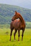 Κόκκινο αραβικό άλογο σε ένα πράσινο θερινό λιβάδι Στοκ φωτογραφία με δικαίωμα ελεύθερης χρήσης