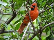 Κόκκινο αρσενικό βασικό πουλί Στοκ φωτογραφίες με δικαίωμα ελεύθερης χρήσης