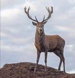 κόκκινο αρσενικό ελάφι ελαφιών Στοκ Εικόνες