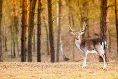 Κόκκινο αρσενικό ελάφι ελαφιών στο δάσος πτώσης φθινοπώρου Στοκ Φωτογραφίες