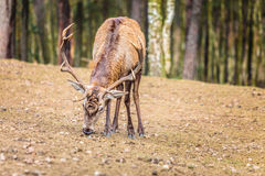 Κόκκινο αρσενικό ελάφι ελαφιών στο δάσος πτώσης φθινοπώρου Στοκ Φωτογραφία