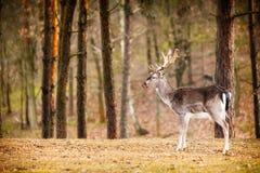 Κόκκινο αρσενικό ελάφι ελαφιών στο δάσος πτώσης φθινοπώρου Στοκ Εικόνες