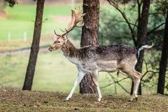 Κόκκινο αρσενικό ελάφι ελαφιών στο δάσος πτώσης φθινοπώρου Στοκ φωτογραφία με δικαίωμα ελεύθερης χρήσης
