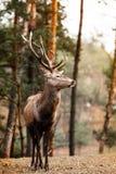 Κόκκινο αρσενικό ελάφι ελαφιών στο δάσος πτώσης φθινοπώρου Στοκ εικόνες με δικαίωμα ελεύθερης χρήσης