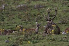 Κόκκινο αρσενικών ελαφιών ελαφιών, elaphus Cervus, Σκωτία, φθινόπωρο Στοκ εικόνες με δικαίωμα ελεύθερης χρήσης