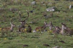 Κόκκινο αρσενικών ελαφιών ελαφιών, elaphus Cervus, Σκωτία, φθινόπωρο Στοκ Εικόνα