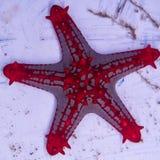 Κόκκινο αστέρι θάλασσας εξογκωμάτων Στοκ Φωτογραφίες