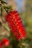 Κόκκινο αυστραλιανό bottlebrush, Callistemon Στοκ εικόνες με δικαίωμα ελεύθερης χρήσης