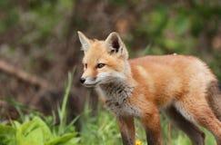 κόκκινο αλεπούδων μωρών Στοκ φωτογραφία με δικαίωμα ελεύθερης χρήσης