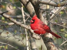 Κόκκινο βασικό πουλί στο δέντρο Στοκ Φωτογραφίες
