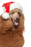 Κόκκινο βασιλικό poodle στο καπέλο Santa Στοκ Εικόνες