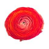 Κόκκινο βατράχιο Στοκ εικόνα με δικαίωμα ελεύθερης χρήσης