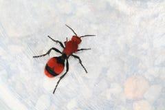 κόκκινο βελούδο δολοφόνων αγελάδων μυρμηγκιών Στοκ Φωτογραφία