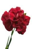 Κόκκινο γαρίφαλο Στοκ εικόνες με δικαίωμα ελεύθερης χρήσης