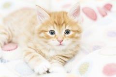 Κόκκινο γατάκι σε ένα χρωματισμένο καλάθι, σιβηρική γάτα σε δύο μήνες Στοκ Εικόνα