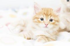 Κόκκινο γατάκι σε ένα χρωματισμένο καλάθι, σιβηρική γάτα σε δύο μήνες Στοκ Φωτογραφίες