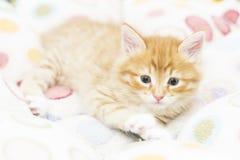 Κόκκινο γατάκι σε ένα χρωματισμένο καλάθι, σιβηρική γάτα σε δύο μήνες Στοκ Εικόνες
