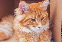 Κόκκινο γατάκι του Μαίην Coon μέσα σε ένα κιβώτιο Στοκ Φωτογραφίες
